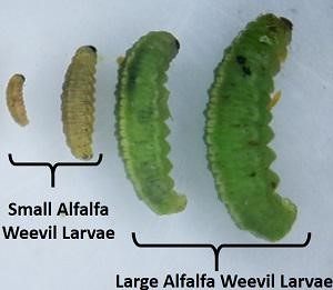 5.22.2020 Alfalfa Weevil Photo 1 - CCE Steuben: Monitoring Your Alfalfa Fields for Weevil