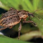 5.22.2020 Alfalfa Weevil Photo 2 150x150 - CCE Steuben: Monitoring Your Alfalfa Fields for Weevil