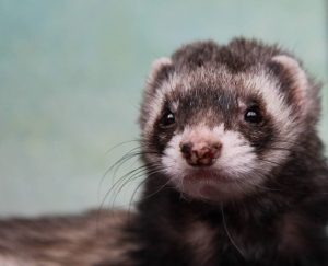 Ferret 300x243 - Tanglewood Nature Center Events and News